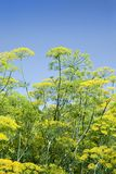 Green dill, blue sky Stock Images