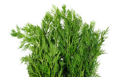 Green dill branches is isolated Stock Photo