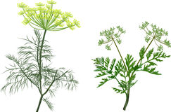 Green dill and celery isolated on white. Illustration with green dill and celery isolated on white background Royalty Free Stock Photo