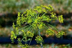 Green dill close-up Royalty Free Stock Image