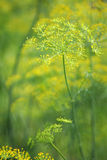 Green dill close-up photo. The green dill close-up photo Royalty Free Stock Photography