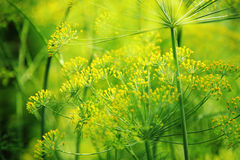 Green dill close-up photo Royalty Free Stock Photos