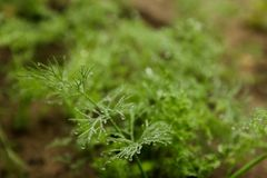 Green dill with dew Royalty Free Stock Image