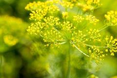 Green Dill Fennel Flower Stock Photos