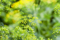 Green dill in a field Stock Photos