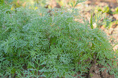 Green dill growing Stock Image