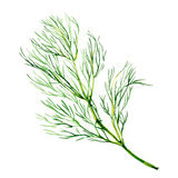 Green dill isolated on white background. Green dill isolated, watercolor painting on white background Royalty Free Stock Image