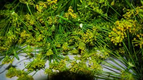 Green dill. Lush green dill which dry Russian people stock photo