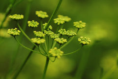 Green dill plant. Spring background Royalty Free Stock Photo