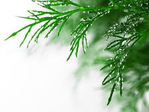 Free Green Dill With Water Drops, Close-up Royalty Free Stock Image - 18437496