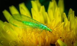 Green Dobsonfly Perched on Yellow Flower stock images