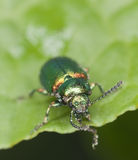 Green dock beetle, Gastrophysa viridula Royalty Free Stock Photos
