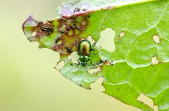 Green dock leaf beetle on leaf. Green dock leaf beetle Gastrophysa viridula on leaf in field. Close up royalty free stock photos