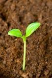 green dof rośnie na płyciźnie sadzonki ziemię Zdjęcie Royalty Free
