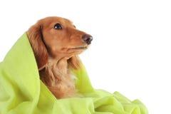 Green dog Stock Image