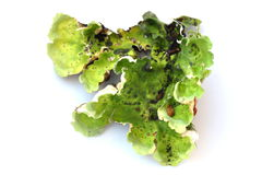 Green dog lichen Royalty Free Stock Image