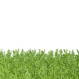 Green dollar grass Stock Image