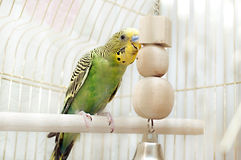 Green domestic budgie Stock Images