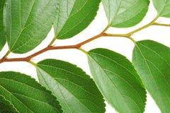 Green doorbladert Royalty-vrije Stock Fotografie