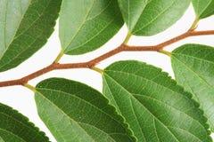 Green doorbladert Stock Fotografie