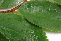 Green doorbladert Stock Afbeeldingen