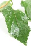 Green doorbladert Royalty-vrije Stock Afbeeldingen