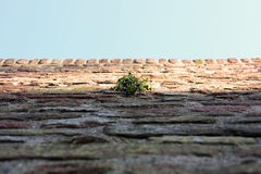 Green Dot. A small green plant growing out of an ancient brick wall Royalty Free Stock Photo