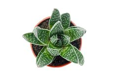 Green dotted succulent plant isolated on white. Green dotted succulent plant in a pot, isolated on white background royalty free stock images