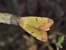 Green Drab Moth. Green Drab - Ophiusa tirhaca Large Green Moth stock photography