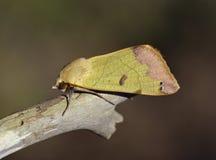Green Drab Moth. Green Drab - Ophiusa tirhaca Large Green Moth stock images
