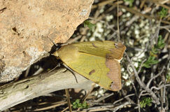 Green Drab Moth. Green Drab - Ophiusa tirhaca Large Green Moth stock photos