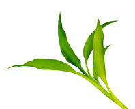 Green Dracaena Royalty Free Stock Images