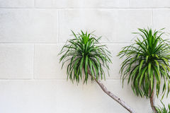 Green dracaena plant on white white cement wall Royalty Free Stock Images