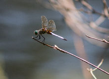 Green Dragon. A green dragonfly perches on a limb at the edge of the lake Royalty Free Stock Photo