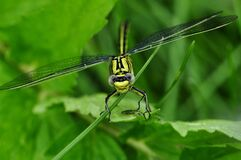 Green Dragon Fly Stock Photography