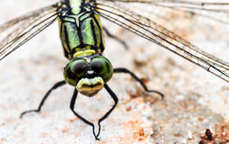Green Dragon Fly. Green dragon fly on the ground Royalty Free Stock Image