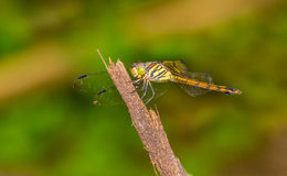 Green dragon fly Royalty Free Stock Images