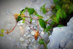 Green dragon fly. Sitting on a branch out in the woods during a hot summer day Royalty Free Stock Photography