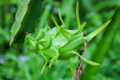 Green dragon fruit on a tree in farm Royalty Free Stock Image