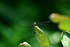 Green dragonflies perch on green leaves in the flower garden stock photo