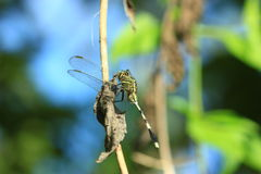 Green Dragonflies Royalty Free Stock Photography
