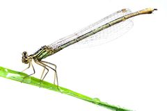 Green dragonfly Stock Photo