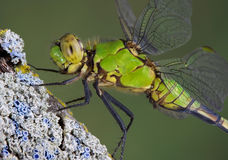 Green dragonfly Royalty Free Stock Photo