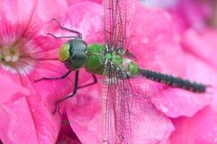 Green dragonfly. Royalty Free Stock Photo