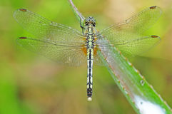 Green dragonfly. In the parks Royalty Free Stock Photo