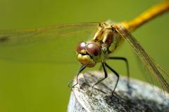 Green dragonfly Royalty Free Stock Photos