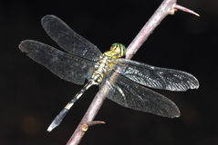 Green Dragonfly. Resting On Flower Branch Stock Photos
