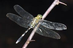 Green Dragonfly Stock Photos