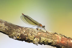 Green dragonfly beauty with transparent wings sitting on a tree Royalty Free Stock Image