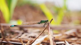 The Green Dragonfly with Blue Tail After Rice Harvesting. The dragonfly is resting in the nature royalty free stock photography